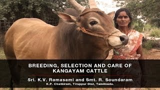 KANGAYAM CATTLE SELECTION