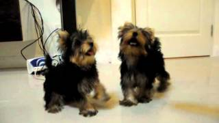 Yorkshire Terrier For Sale By Icecydoggy Dog's Name Presso2