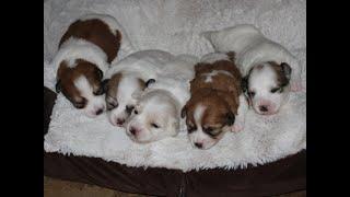 Coton Puppies For Sale - Jolie 7/14/20