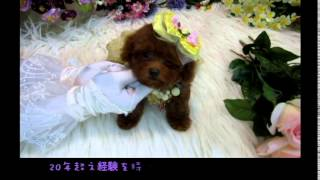 Small Teacup Poodle 359