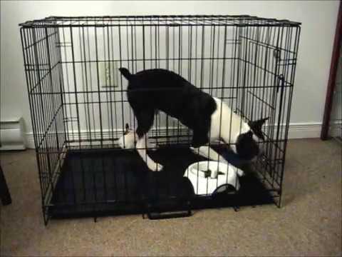 Boston Terrier Escapes In 45 Seconds