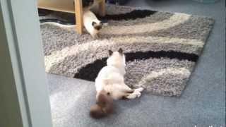 Бирманская кошка - Священная Бирма