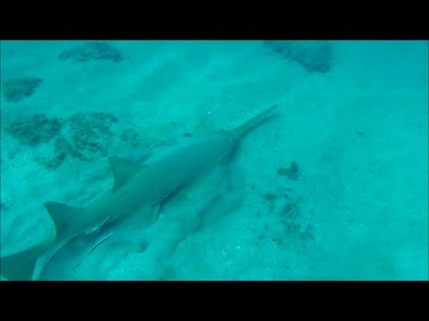 Sawfish Attacking Prey