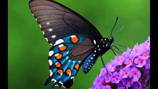 САМЫЕ КРАСИВЫЕ БАБОЧКИ  Как погибают бабочки
