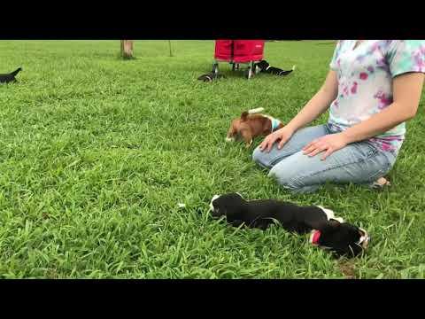 Basset Hound Puppies first romp in the grass