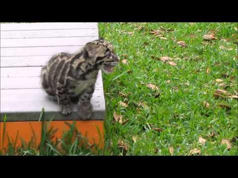 CUTE ANIMAL ALERT! Meet Mowgli the Clouded Leopard Cub!