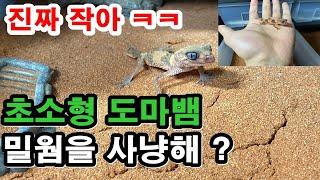 초소형 파충류 !?!?  납테일게코 도마뱀의 밀웜 사냥…