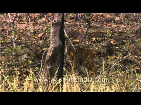 Chousingha or four-horned antelope (Tetracerus quardricornis)