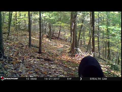 black bear on trail camera columbia county NY old chatham