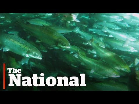 The Salmon Farm of the Future?