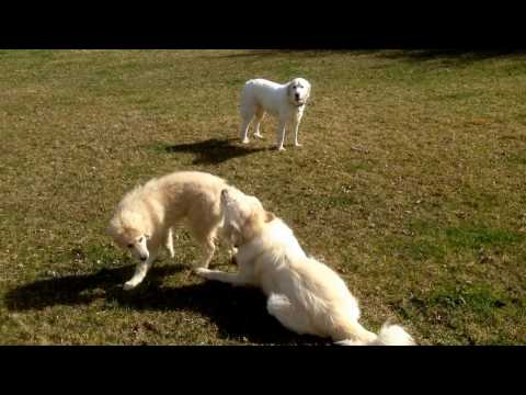 Great Pyrenees Puppy Reunited with Parents