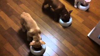 The French Bulldog [no.048] : Smart Puppies Training How To Wait Before Eat!