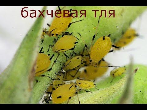 Желтеют листья огурцов болезни и вредители