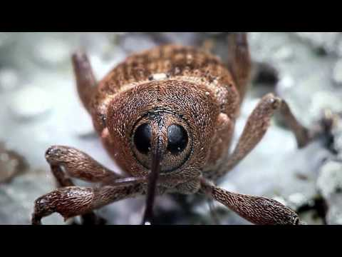 Acorn Weevil recorded with the Hirox Microscope - BBC Nature