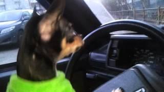 собака чихуахуа Бакстер за рулем ругается город курск 2013 год