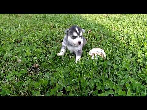PuppyFinder.com : Little JJ.  She is 3 weeks old