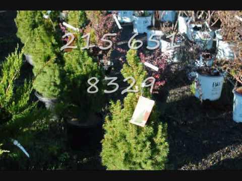 We Nurse Daily  Dwarf Alberta Spruce Trees