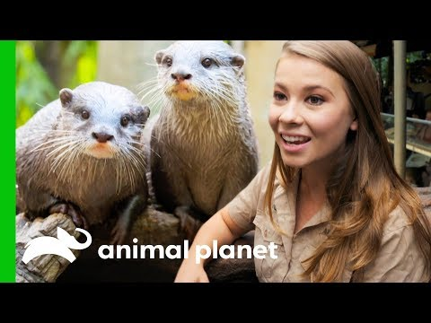 Two 'Otterly Adorable' Asian Otters Put On A Show At Australia Zoo | Crikey! It's the Irwins