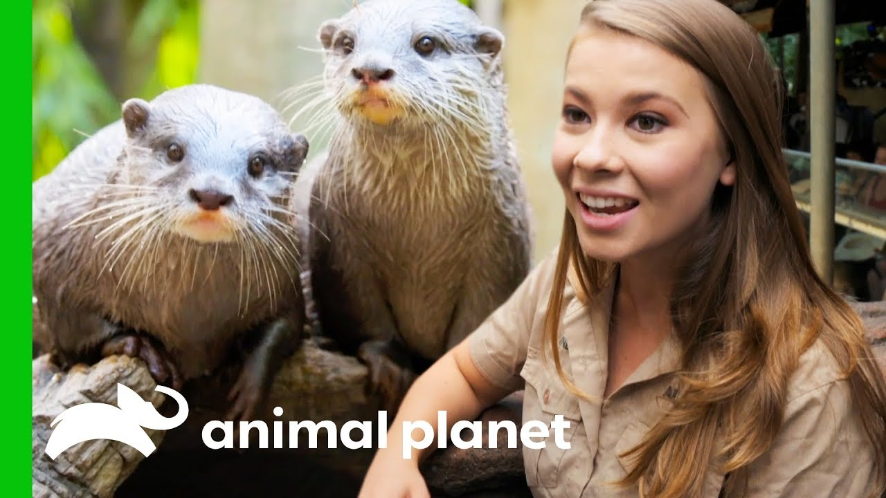 Two Otterly Adorable Asian Otters Put On A Show At Australia Zoo Crikey It S The Irwins Youtube
