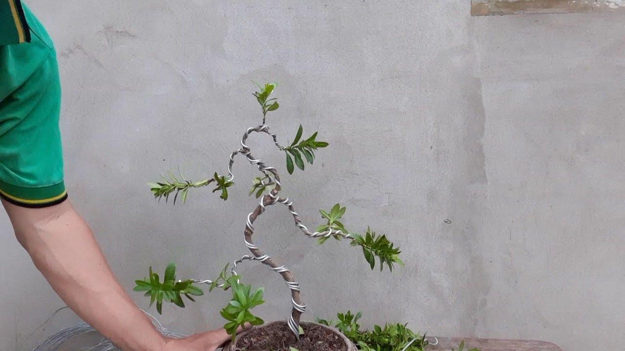 Tập uốn cây trang bonsai.bonsaimini đơn giản ai cũng có thể làm