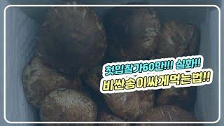 [송이특집]첫입찰가 60만원!!   비싼 자연산 송이버…