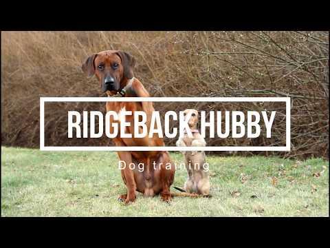 Rhodesian ridgeback Hubby & dog tricks | 4 years ♡