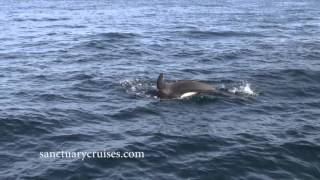 Orcas wait to ambush dolphins in Monterey Bay
