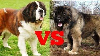 Сенбернар против кавказской овчарки. Собаки. Батл собак.