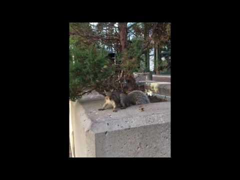 カナダ・トロント ハーバーフロントのリス♪ Squirrel in Canada Toronto Harbor Front