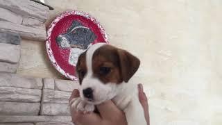 У нас вы можете купить щенка Джек Рассел терьера