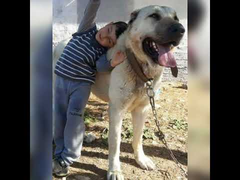 How Social is Kangal Dog - YouTube