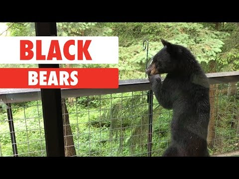 Breed All About It: Black Bears