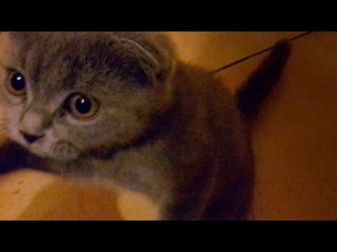Sweet Kitten Meowing (scottish fold)