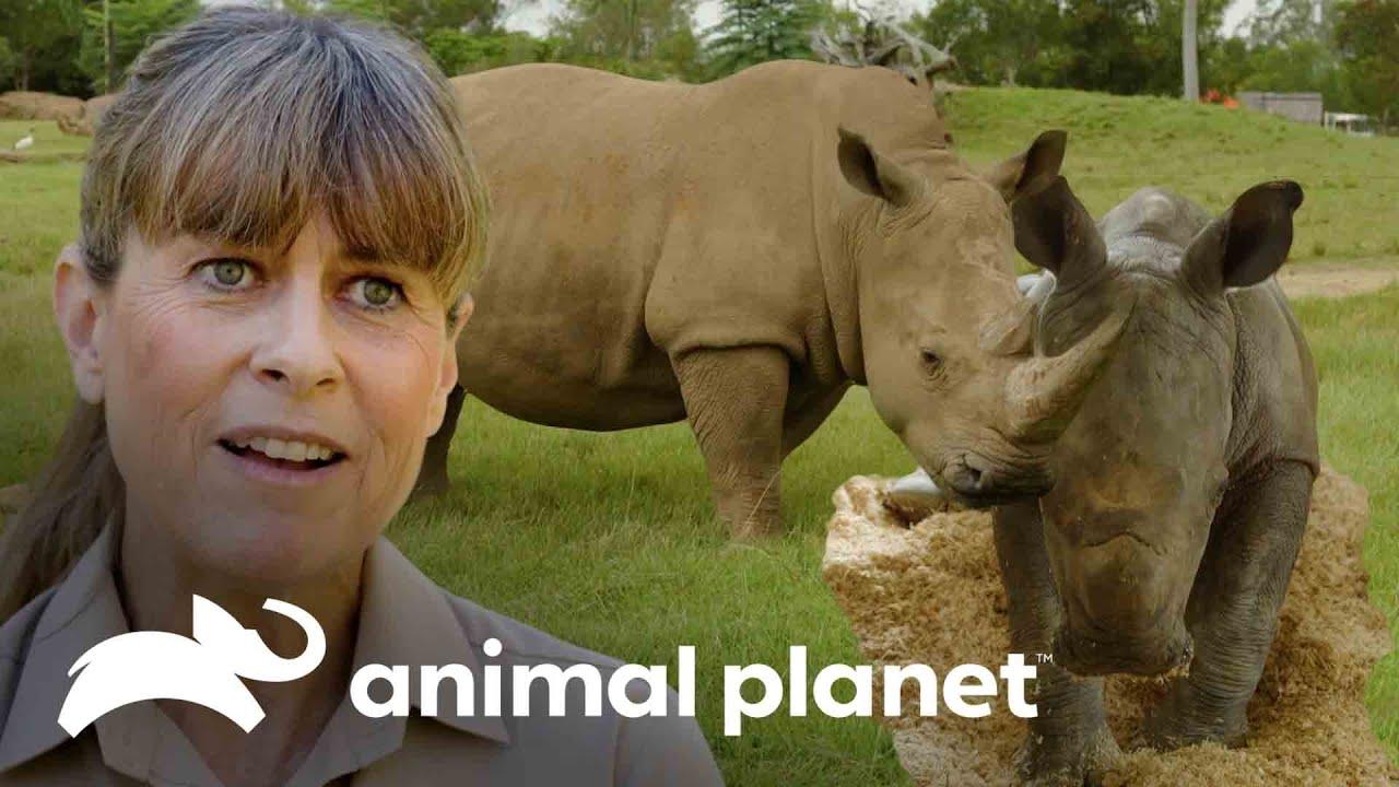 Nacimiento de un adorable rinoceronte blanco | Los Irwin: Robert al rescate | Animal Planet