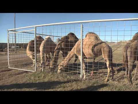 Passow's Camel Farm