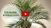 24 сен 2010. Пальмы теплых помещений – арека, кокос, кариота, хамедорея, акантофеникс, феникс робелини – требуют высокой температуры.