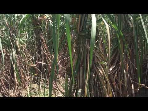 Sugarcane variety 0238