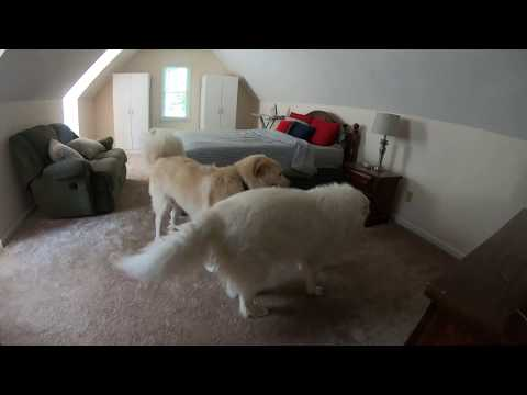 Having two Great Pyrenees dogs is better than one!