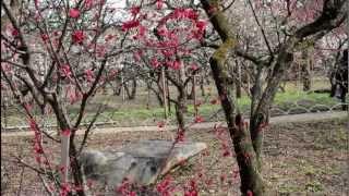 Ume Blossoms: Plum flowers at the Kitano Tenmangu, Kyoto 【HD】