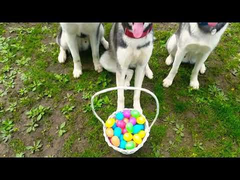 My Huskies 1ST Egg Hunt | Husky Dogs Look For Easter Eggs