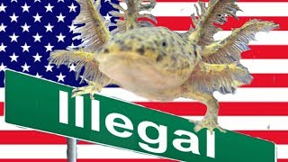 Axolotls are Illegal in these States
