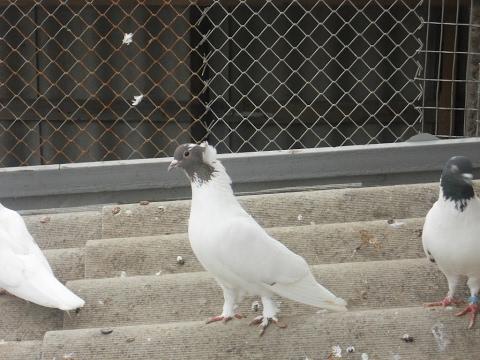 При хорошей тренировке голуби зависали над домом по 8 и более часов с периодической игрой. Полет некоторых из них достигал 16-ти часов, и не было среди них голубей, которые разбивали себе крылья в кровь. Эти голуби пленили всех голубеводов украины, занимающихся бойными породами.