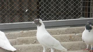 Tauben / Pigeons / Иранские бойные голуби (Виталий Никульча , с. Борисовка, Украина )