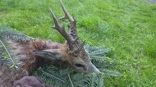 May 2021 Roebuck hunting