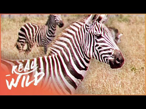 Striped Survivors [Zebra Documentary] | Wild Things