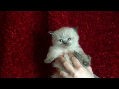 Blues, Seals, Bi-colors, Lynx  Ragdoll Kittens  Moulin's kittens March 14, 2018 - ARagdollToLove