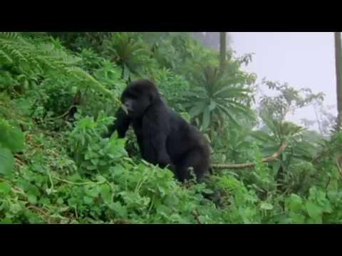Dian Fossey Gorilla Fund International PSA 2014