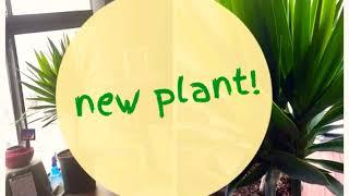 New Plant! Yucca Cane Plant, City Life  Apartment Garden