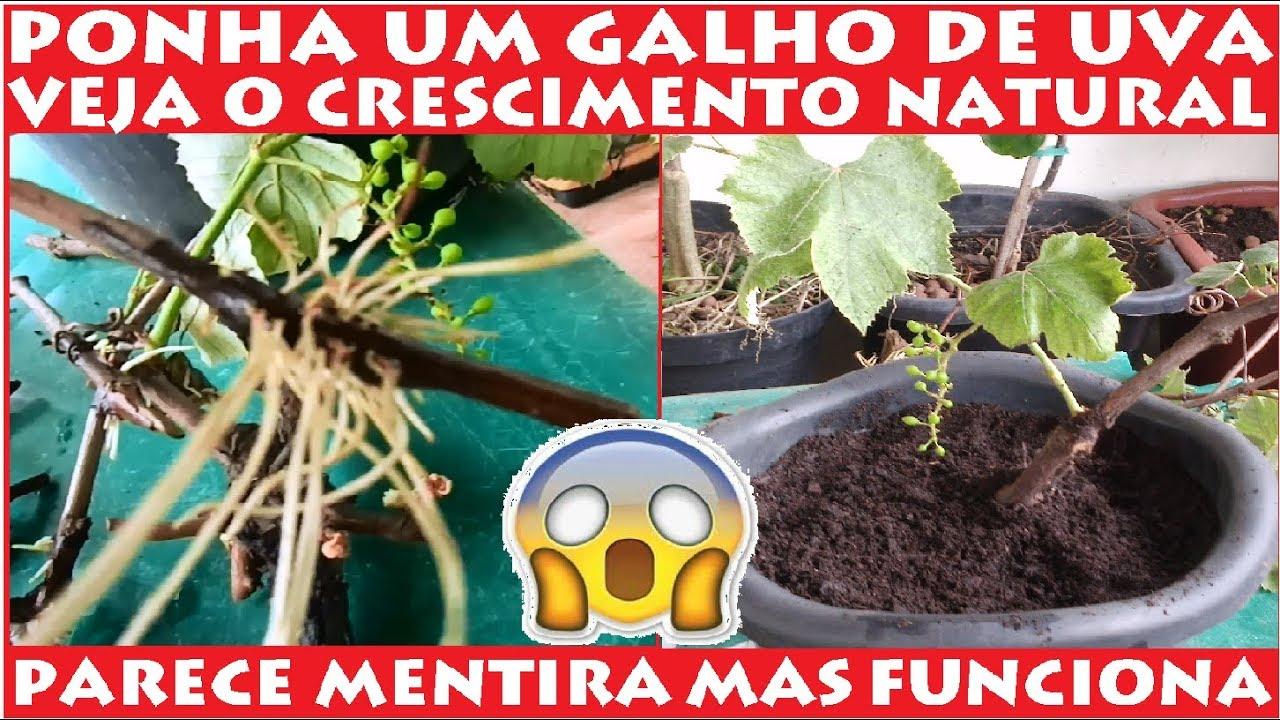 Ponha Um Galho De Uva Na Agua E Veja O Crescimento Natural Em