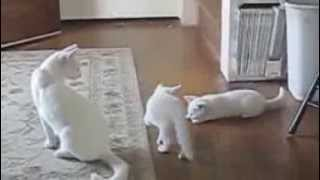 Playful White Kittens